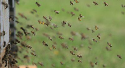 Zavart méhek a napfogyatkozás árnyékában