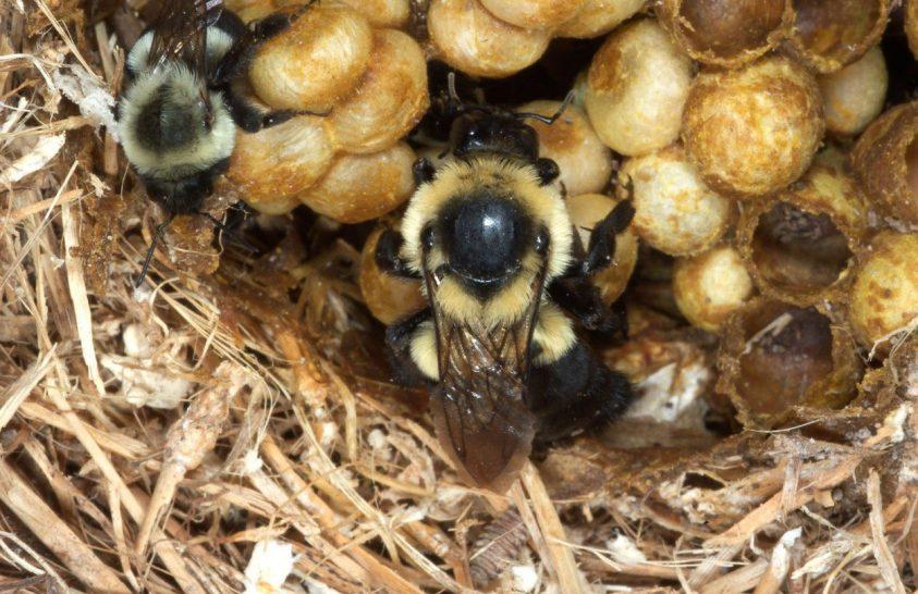Gyakran használt rovarölő szerrel mérgezzük a poszméhek királynőit