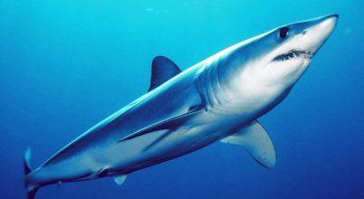 Túlhalászás fenyegeti a leggyorsabb cápafajt