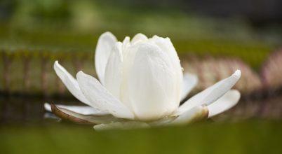 Virágzik a tündérrózsák királynője Nyíregyházán
