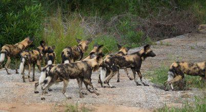 Az afrikai vadkutyák demokráciában élnek