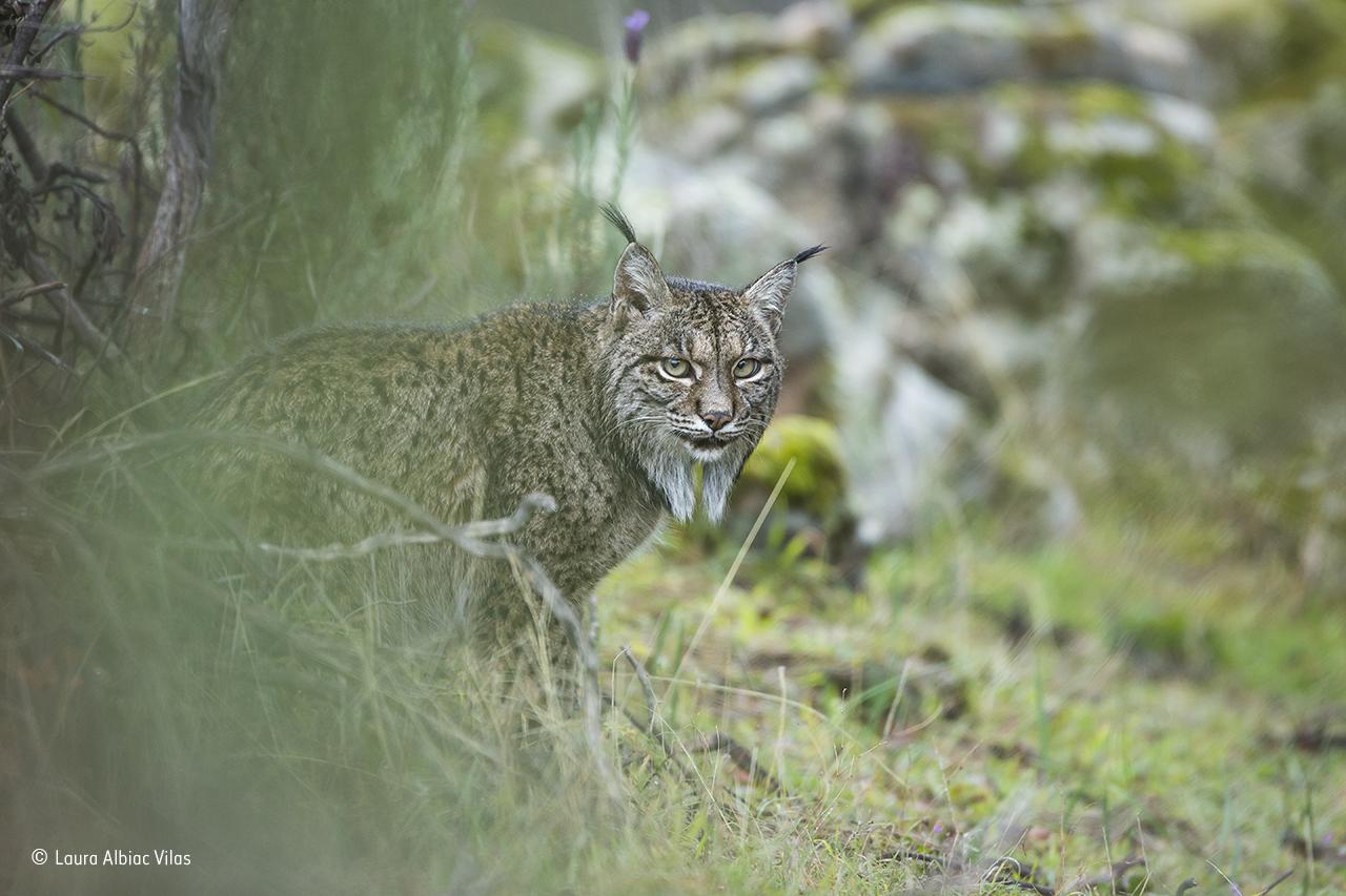 Glimpse of a lynx