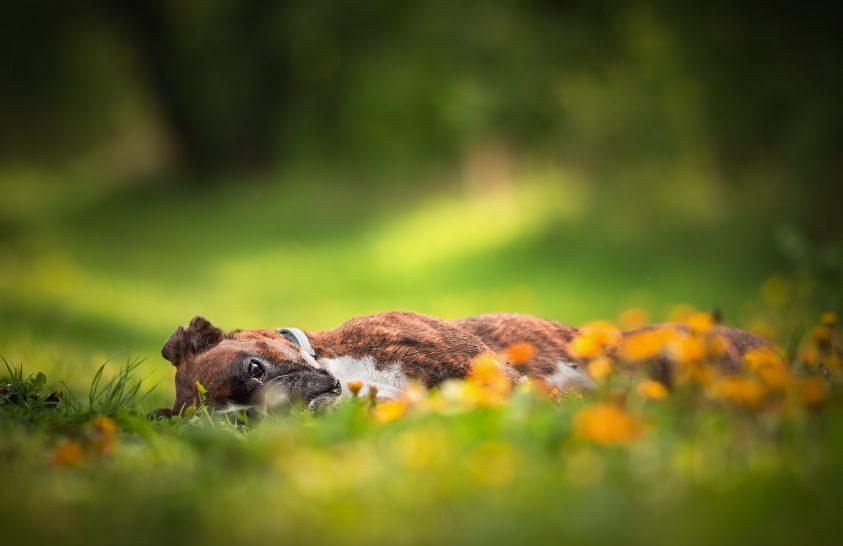 A nap képe: Egy fáradt boxer lapul a fűben