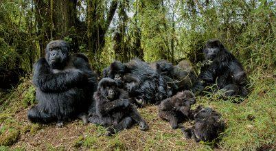 Mi lett velük – Dian gorillái