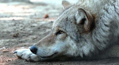 Jobban értik az ok-okozati összefüggést a farkasok, mint a kutyák