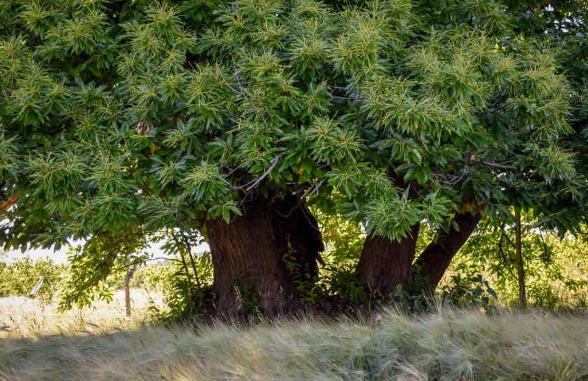 13 jelölt az Év Fája versenyen