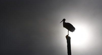 Jól vannak a telelő jeladós gólyák