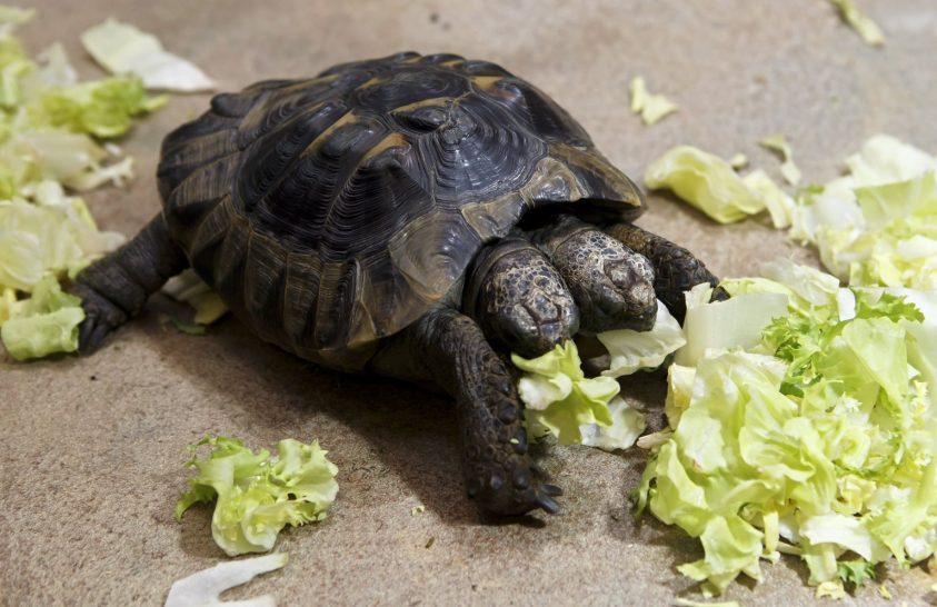 Húszéves lett a kétfejű svájci teknős
