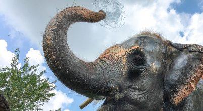 Munkára kényszerítve: India dolgozó elefántjai