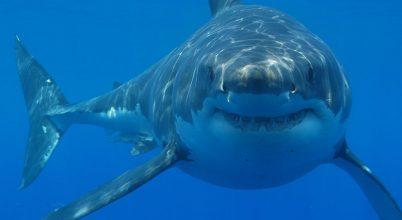 Kissé félreismertük a fehér cápákat