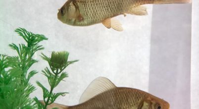 A műanyagrészecskék megváltoztatják a halak viselkedését