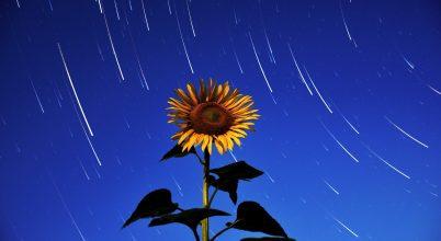 A nap képe: Napraforgó csillagos hátérrel