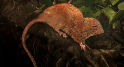 46 centiméteres patkányfajt találtak a Salamon-szigeteken