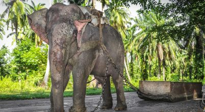 Egy sziget, ahol a dolgozó elefántnak is jár szabadnap