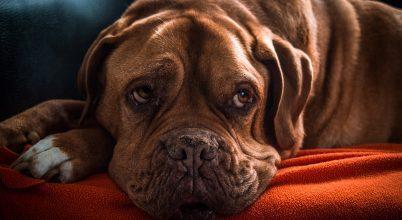 Ha szomorúan néz rád a kutyád, az nem a véletlen műve