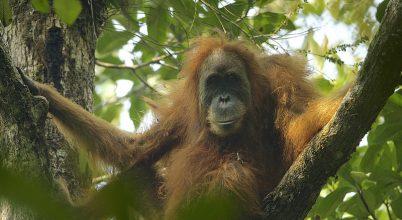 Új orangutánfajt fedeztek fel Szumátrán