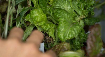 Hiszi vagy sem, ez a saláta az űrben termett