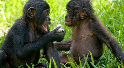 A bonobóknak is fontos az első benyomás