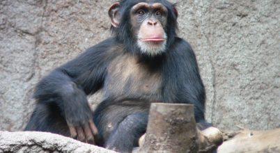 A csimpánzok is felmérik a távolságot, sőt társukkal is megosztják
