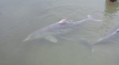 Ajándékozással kezdődik a delfinszerelem