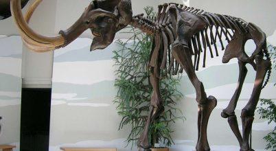 Kiderült, miért hím a megtalált gyapjas mamut maradványok többsége