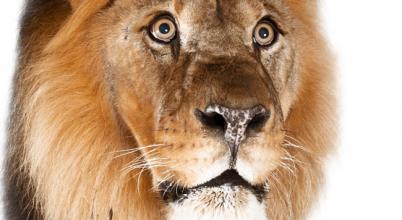 Kardfogú és oroszlán: közös végzet?