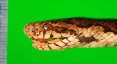 Globális fertőzés fenyegetheti a kígyókat