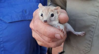 Kihaltnak hitt erszényest találtak Ausztráliában