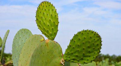 A kaktusz válhat a század egyik legfontosabb haszonnövényévé