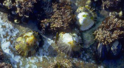 Gyulladáscsökkentő anyagok tengeri puhatestűekből