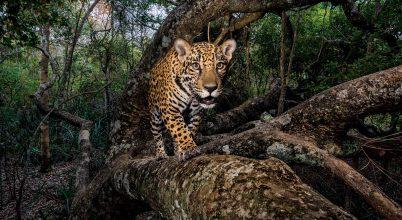 Jaguárok fogyatkozó birodalma