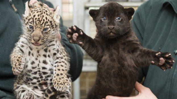 Jaguárok születtek Níregyházán