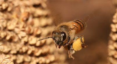 Méhekre veszélyes mezőgazdasági módszerek