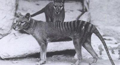 A tasmán tigris sorsa már az ember érkezése előtt megpecsételődött