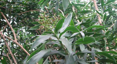 Kihaltnak hitt növényfajra bukkantak Madagaszkáron