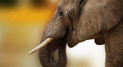WWF: Japán is tiltsa be az elefántcsont-kereskedelmet!
