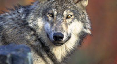 Több mint 100 év után találtak farkast Belgiumban