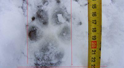 Farkas járhatott a Börzsönyben