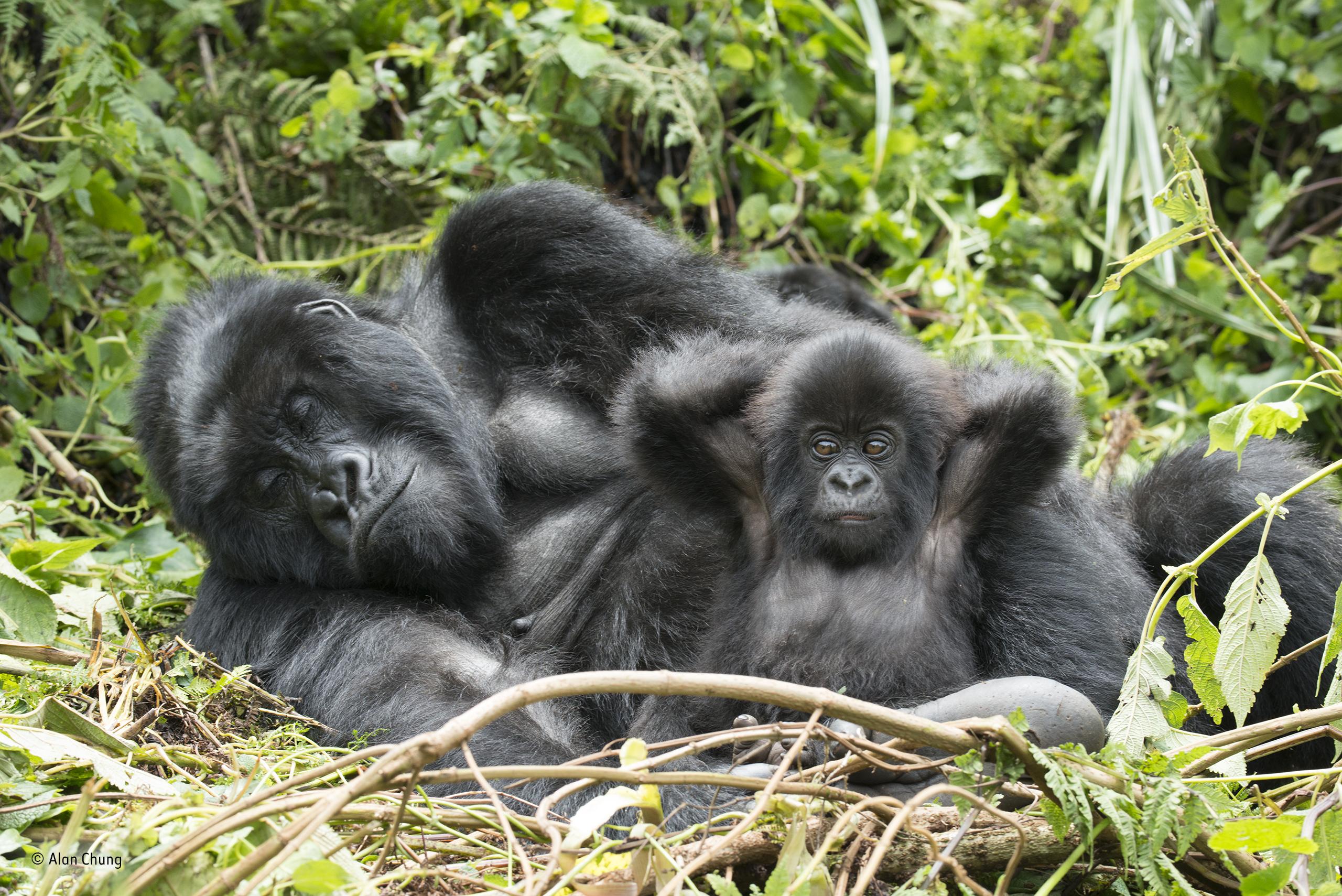 gorillák