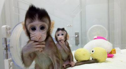 Kínai tudósok makákókat klónoztak