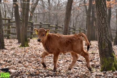 Újabb őstulok borjú született a Budakeszi Vadasparkban
