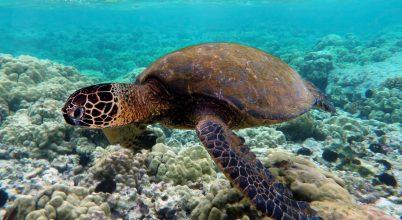 A hím teknősöket is veszélybe sodorja az éghajlatváltozás