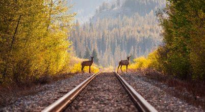 Új módszer a vadbelesetek megelőzésére, a sínek mentén