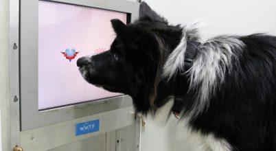Kutyák szellemi frissességének karbantartása