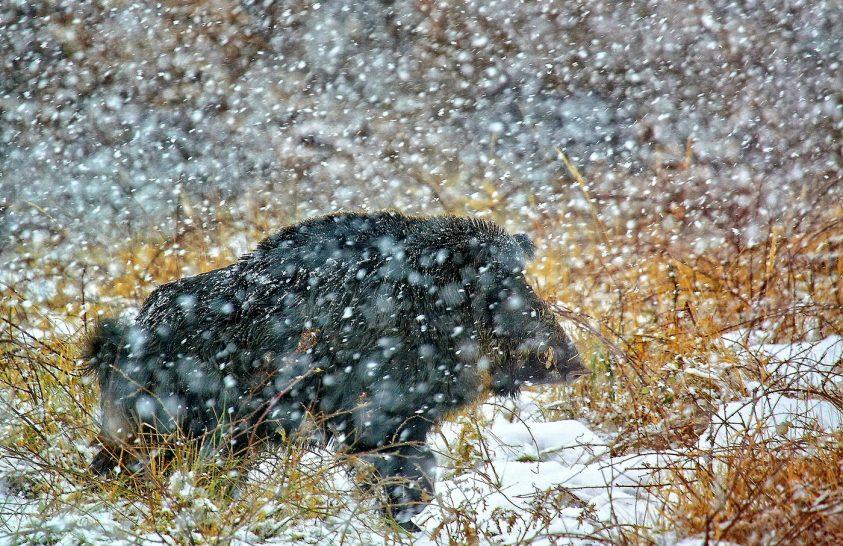 A nap képe: Óriási vadkan hóesésben
