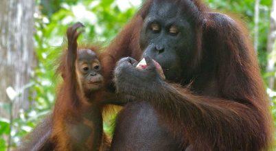 16 év alatt százezer egyeddel csökkent a borneói orangutánok populációja