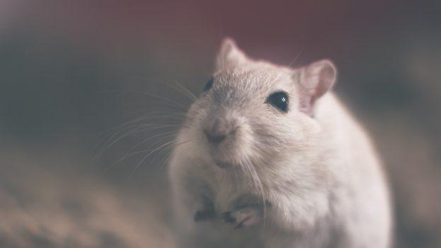 Átprogramozzák utódaik agyát a stresszes hím egerek