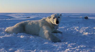 Egyre kevesebb táplálékhoz jutnak a jegesmedvék