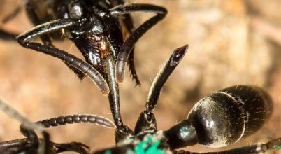 Nem hagyja veszni hadirokkantjait egy afrikai hangyafaj