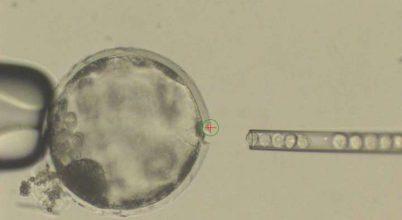 Először hoztak létre juh-ember hibridembriókat